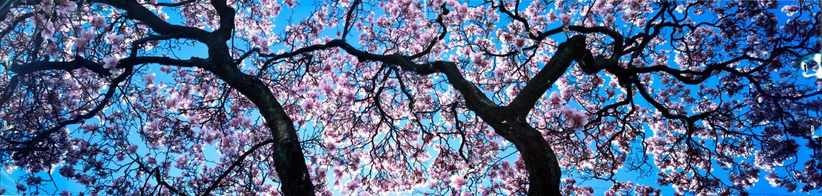 Blühende Magnolienzweige