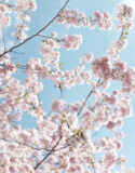 Kirschblütenpracht – prächtig für Ihre Wände
