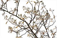 Zweige Felsenbirne – elegantes Wandmotiv