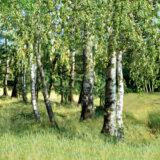 Birkenwald (Wandbild)