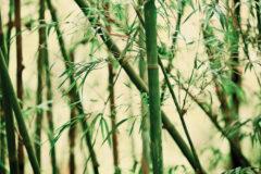 Bambus Fototapete – Blick in die Bambusblätter